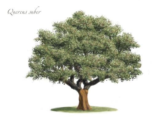 alcornoque-quercus-suber2