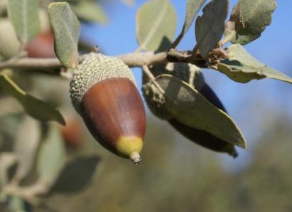 Quercusilex2